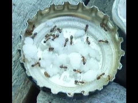 Video ALL NATURAL ANT CONTROL using BORAX