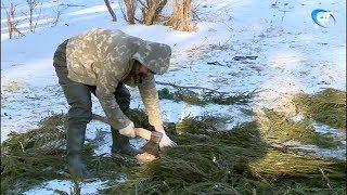 Новгородские моржи нашли применение непроданным новогодним елкам