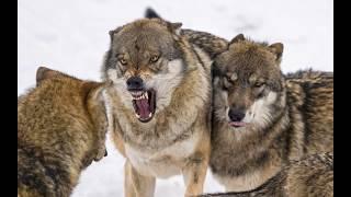 Волк и собака ,на что способен когда Голоден