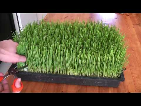 Video How to grow wheatgrass