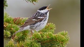 SONIDO Pájaros Pajaritos. DESCARGAR. Sonidos vocales que estos animales emiten