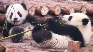 preview picture of video 'Panda Babies at Chengdu 成都のパンダの赤ちゃん(六一)'