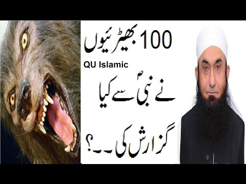 What 100 Wolves Request to Nabi SAWW
