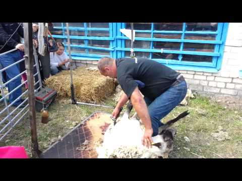 svorio avių