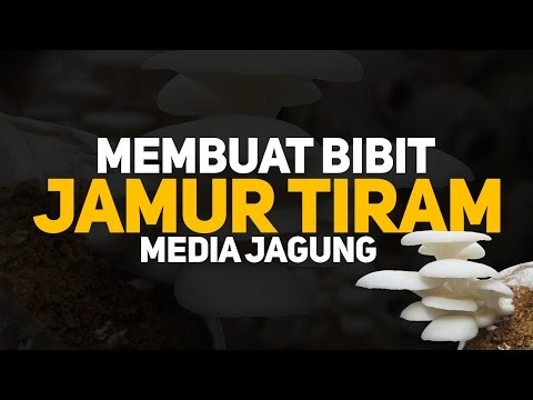 Video Tutorial membuat bibit jamur tiram F1 - F2 - F3 - F4 | Mediasi Jagung