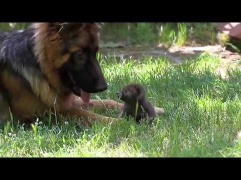 La piccola volpe ed il cane.  Lezione di antispecismo.