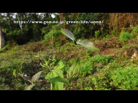 カメルーンのウスバカマキリの飛翔 Mantis religiosa