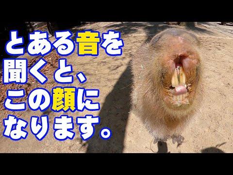 """何かを見つけて飼育員におねだりするカピバラさん Capybara """"Feed me"""" #shorts"""