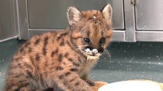 Home Found For 8-Week-Old Cougar Cub Orphan