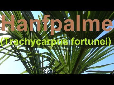 Hanfpalme pflegen gießen Standort überwintern vermehren düngen Hanfpalme Trachycarpus fortunei