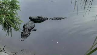 Alligator Swamp and Spoonbills Cam 06-08-2018 13:20:27 - 14:20:28