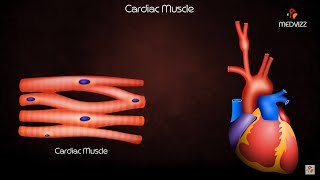 Cardiac Muscle Physiology - Usmle Quick review