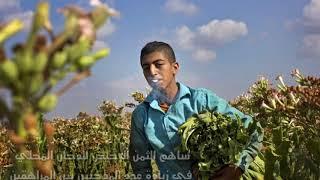 زراعة التبغ في فلسطين...قصة ...