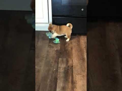 Playful Beautiful Shiba Puppy