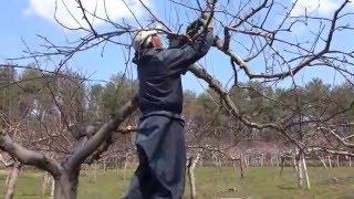 りんごの剪定 (頂部優勢を生かした成り枝更新剪定~チェーンソー、鋸による剪定作業の流れ)
