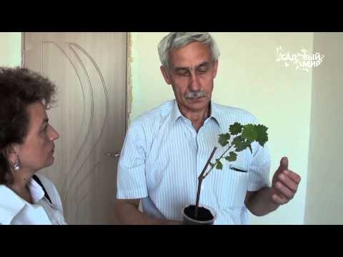 """Как  посадить виноград. Сайт """"Садовый мир"""""""
