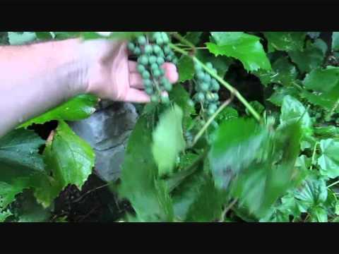 Первые грозди винограда