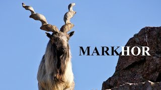 markhor goat hunting - मुफ्त ऑनलाइन वीडियो