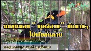 นกขุนทอง พูดภาษาอีสาน ชัดมากๆ!!!!