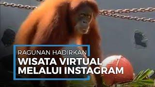 Melihat Aksi Orang Utan di Kebun Binatang Ragunan Lewat Wisata Virtual Melalui Instagram