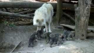 6 Baby Wölfe in Schönbrunn