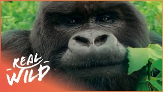 Mountain Gorilla: A Shattered Kingdom! | Real Wild