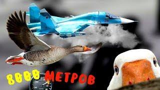 Самые ВЫСОКО ЛЕТАЮЩИЕ птицы в мире