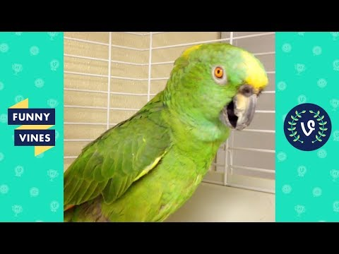 TRY NOT TO LAUGH - Birds & Parrots Funny Animals Fails Compilation   Cute Vines April & May 2018