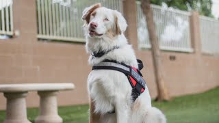 Justice, a blind and deaf rescue dog, is now a finalist in airport contest in Phoenix