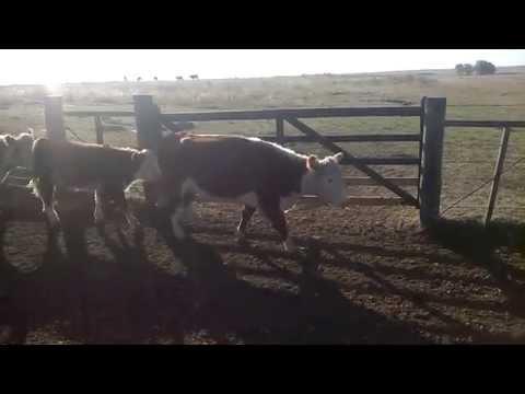 Vacas Preñadas , Sopas Salto