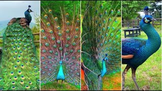 Animals Life: Beauty  and cute peacock in Tiktok Collections
