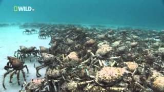 Download Youtube: Kingdom of the Oceans : Spider Crab