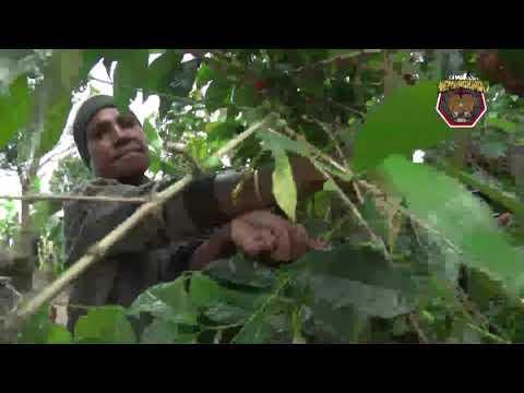 Binmas Noken Polri Melakukan Pendampingan Petani Kopi di Kampung Yagara Wamena