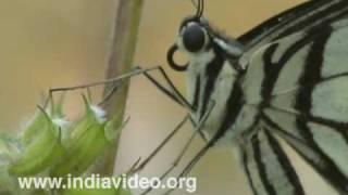 Lemon Butterfly or Papilio demoleus