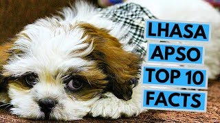 Lhasa Apso - TOP 10 Interesting Facts