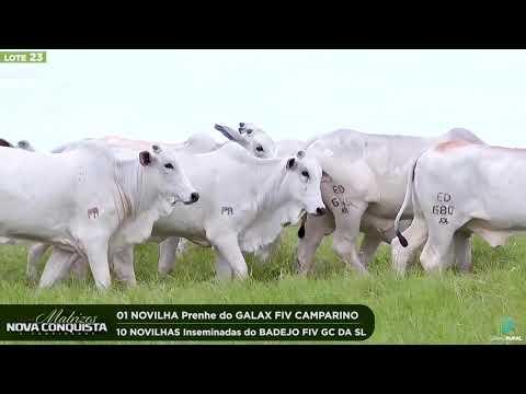 01 NOVILHA PRENHE - 10 INSEMINADAS