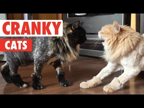Cranky Cats Compilation