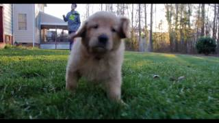 Golden Retriever Puppy Learning to Run!