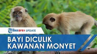 Dua Bayi Kembar Usia 8 Hari Diculik Kawanan Monyet, Salah Satunya Tewas Dilempar dari Atap Rumah