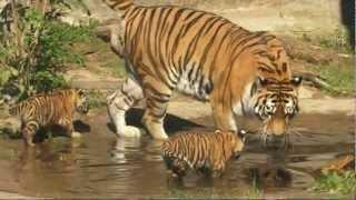 Nina s tygřaty již ve výběhu