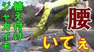 【腰痛】黒ビニールマルチにジャガイモを植え付けるのは流行るか?