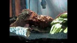 TANK UPDATE: Freshwater/Brackish Snowflake Moray Eel - Epic Feeding Time - Week 10