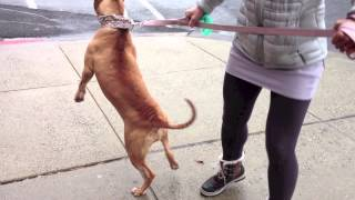 Demonstrating How Effectively Calming the Heel Command is to a Leash Reactive Dog