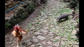 Funny Chicken Reactions Are Chased Otter