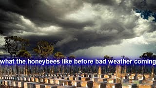 What The Honeybees Like Before Bad Weather Coming - Heavy Raining - Storm