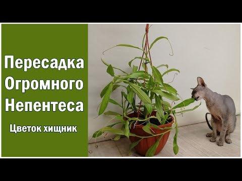 Пересадка огромного непентеса!  Размножение детками и немного об уходе! Цветок-хищник Nepenthes!