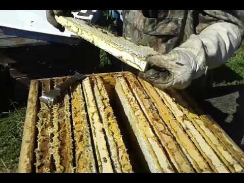 Заполнение магазинных надставок на 145 мм. мёдом.