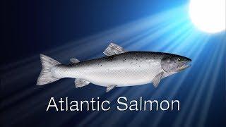 Species in the Spotlight: Atlantic Salmon