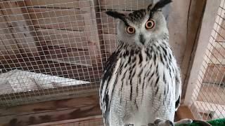 Eagle-owl Varya is hooting again! And how!