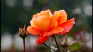 神代植物公園のばらとモーツアルトの「みじかくも美しく燃え」